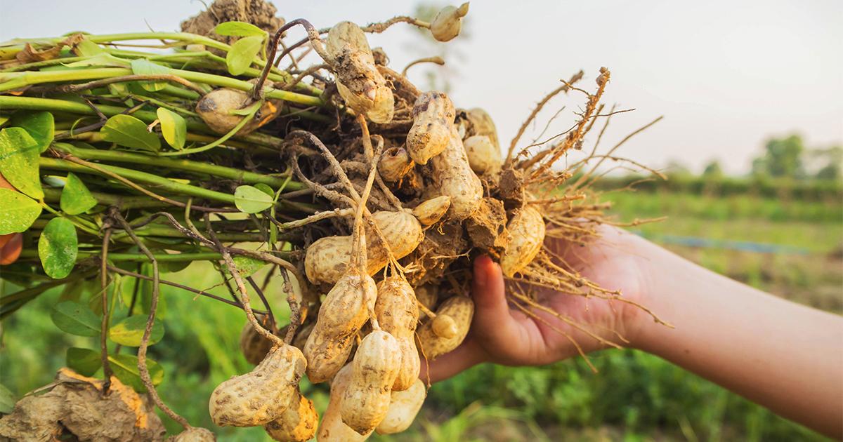 Выращивание арахиса в открытом 885