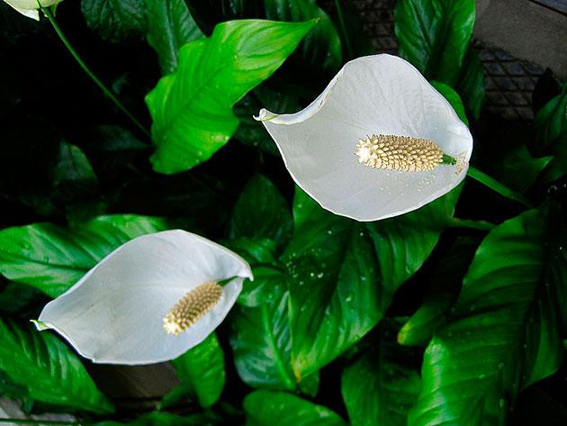 Женское счастье цветок большие