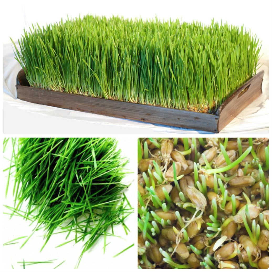 Как в домашних условиях посадить пшеницу в 368