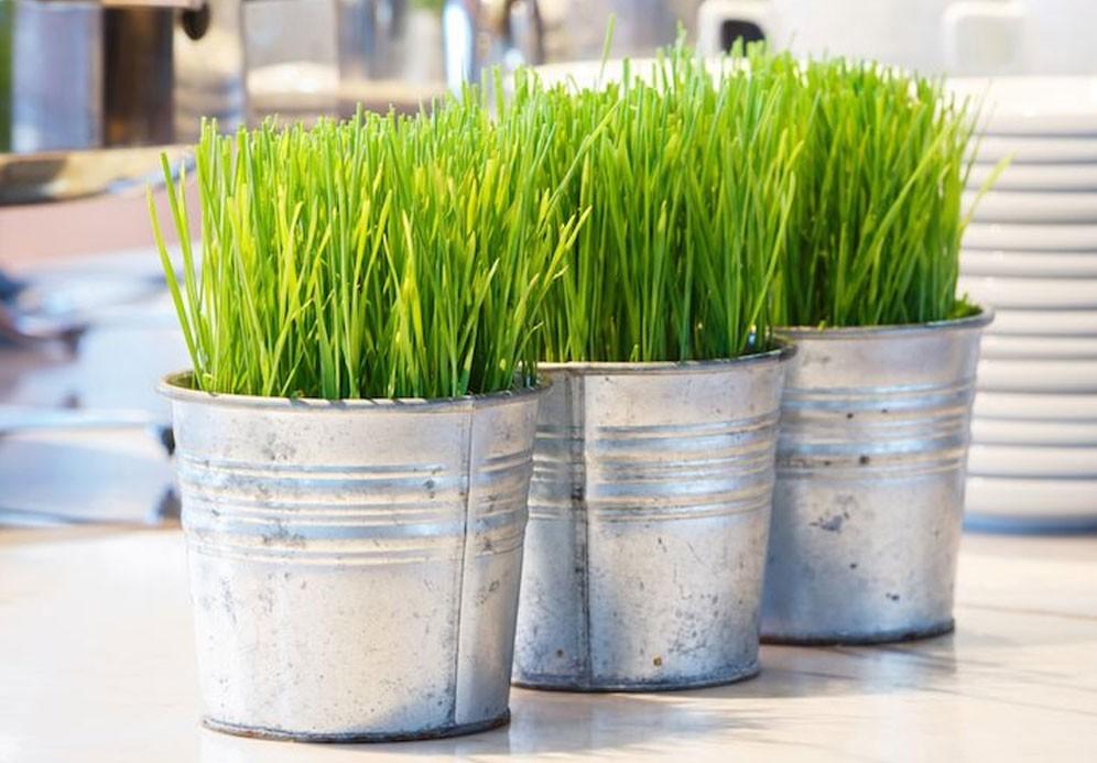 Как в домашних условиях посадить пшеницу в 491