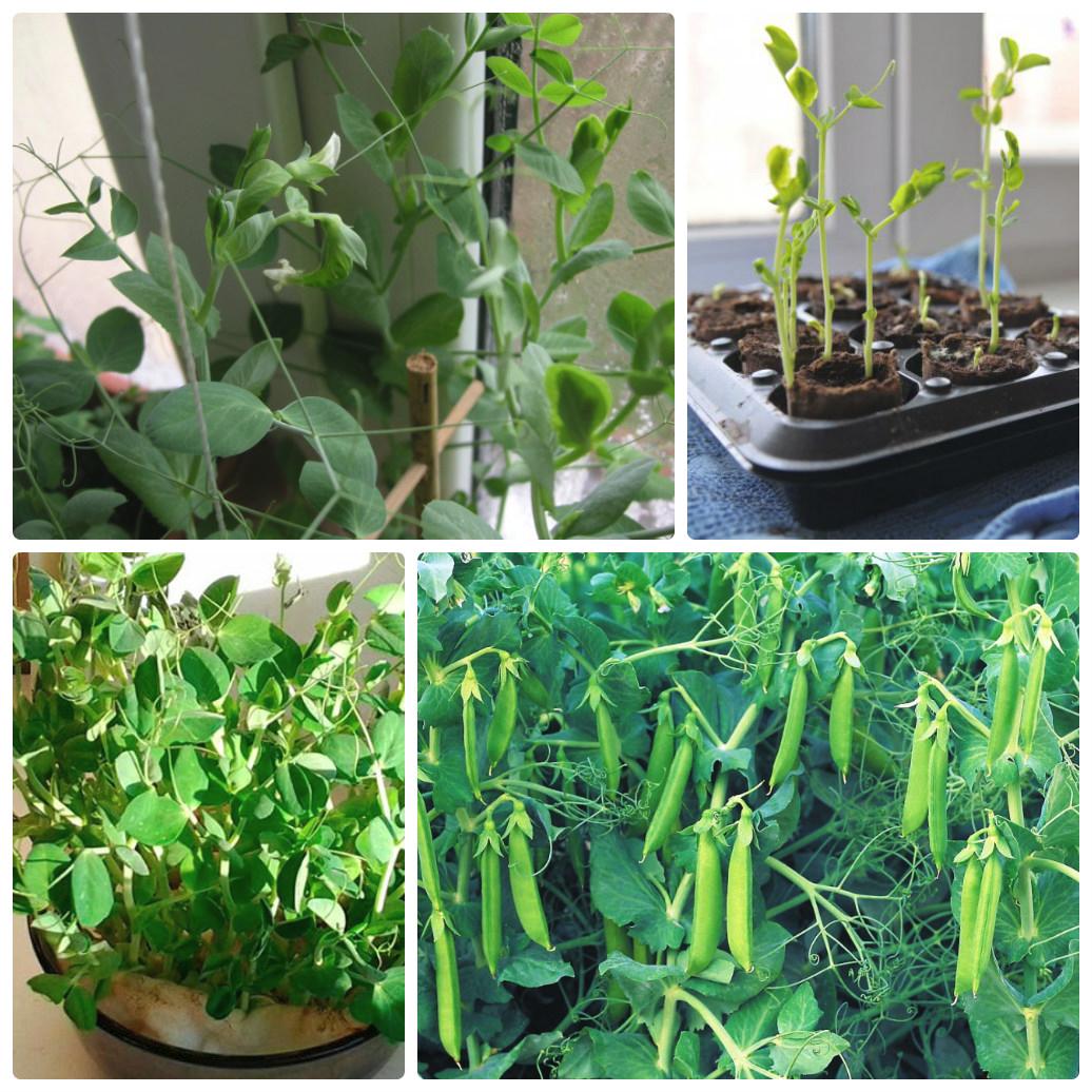 Как быстро прорастить фасоль: основные правила проращивания 35